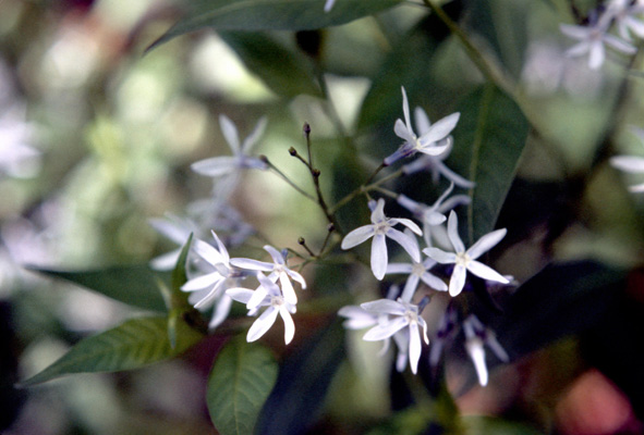 Amsonia tabernaemontana (Eastern bluestar)
