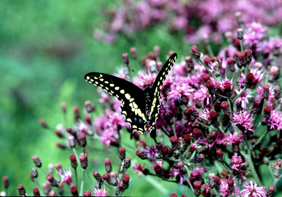 Black swallowtail - adult