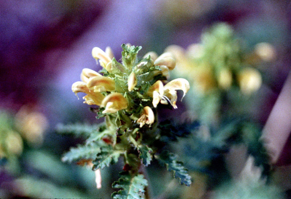Pedicularis canadensis (high heal-all)