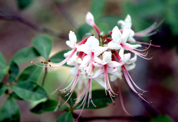 Rhododendron nudiflorum