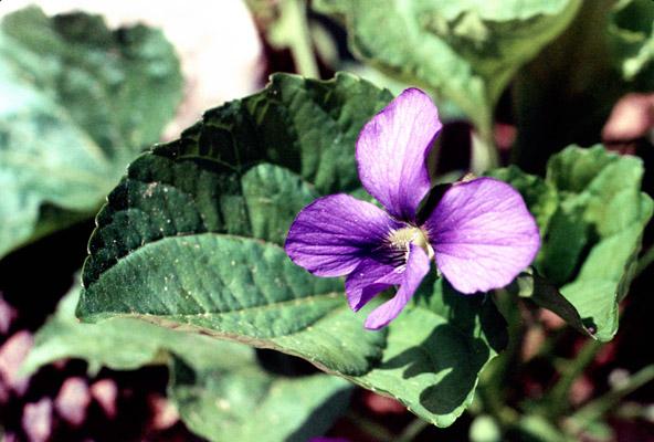 Viola papilionacea