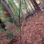 pawpaw sapling