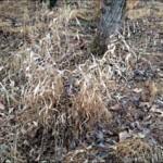 Chasmanthium latifolium (river oats)
