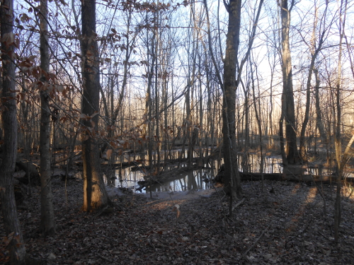 afternoon picture of a Northeast Creek swamp forest