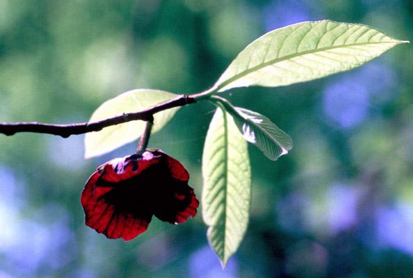 Asimina triloba (Paw Paw)