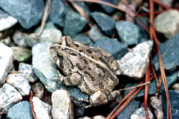 Bufo fowleri - Fowler's toad