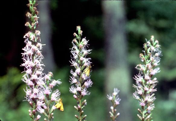Liatris graminifolia