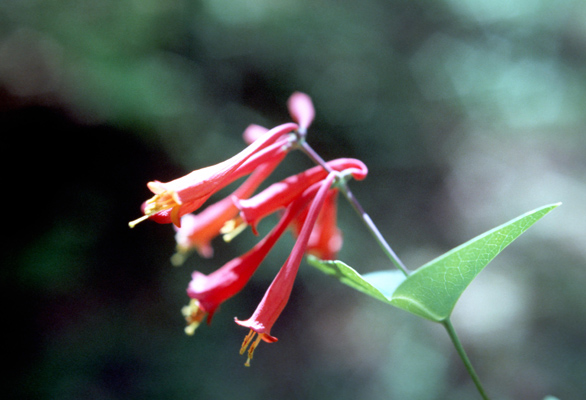 Lonicera sempervirens (Coral Honeysuckle)