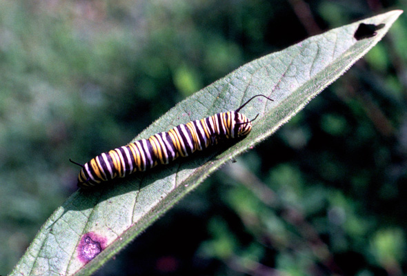 Danaus plexippus - Monarch - Caterpillar