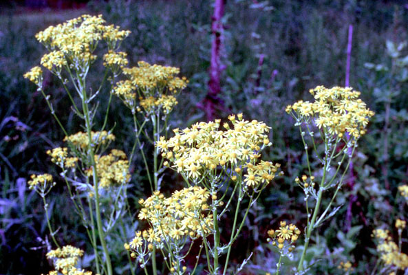 Senecio smallii