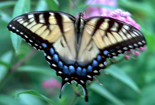 Papilio glaucus -Eastern tiger swallowtail - Adult