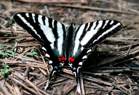 Protographium marcellus or Zebra swallowtail as adult