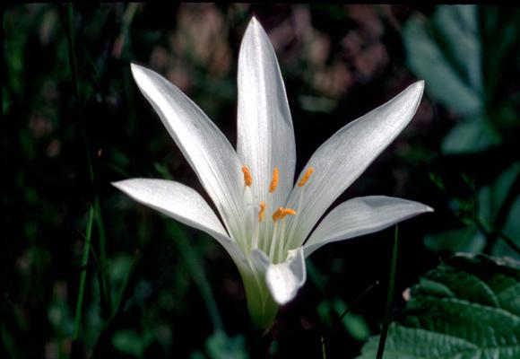 Zephyranthes atamasca (Atamasco Lily)