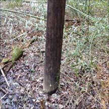 Duke Energy power pole in the Euclid Road bamboo grove
