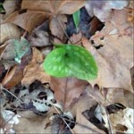 Asarum (wild ginger)