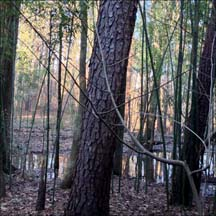 Asimina triloba (pawpaw) sapling