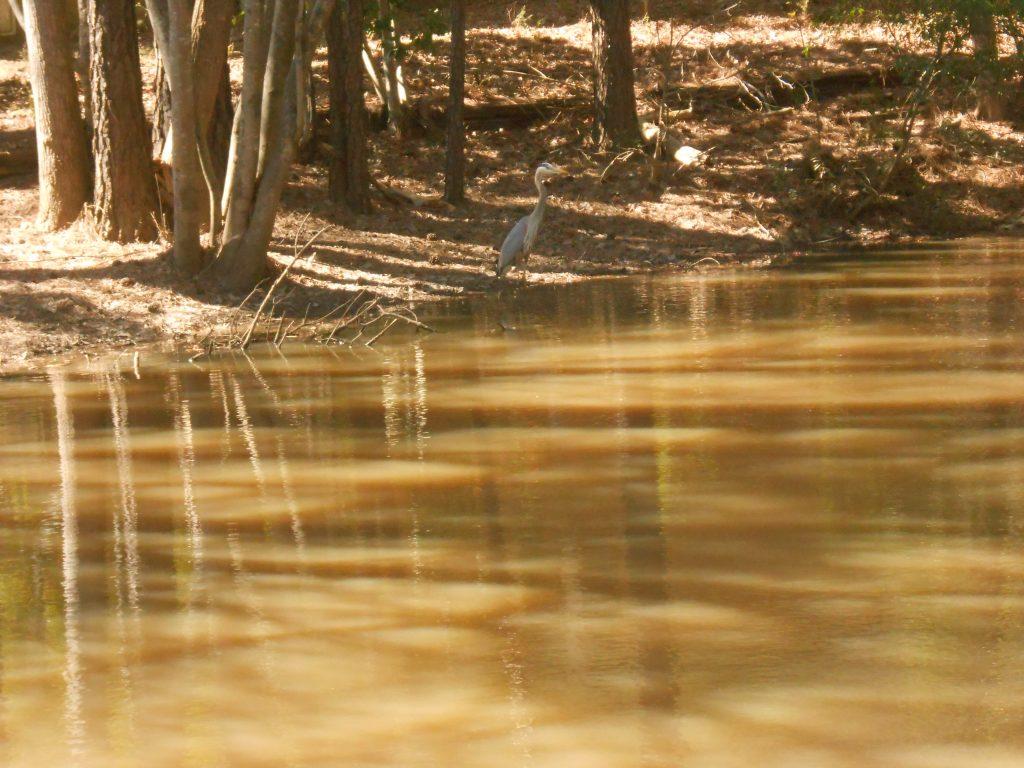 Heron on shore of Parkwood lotus pond